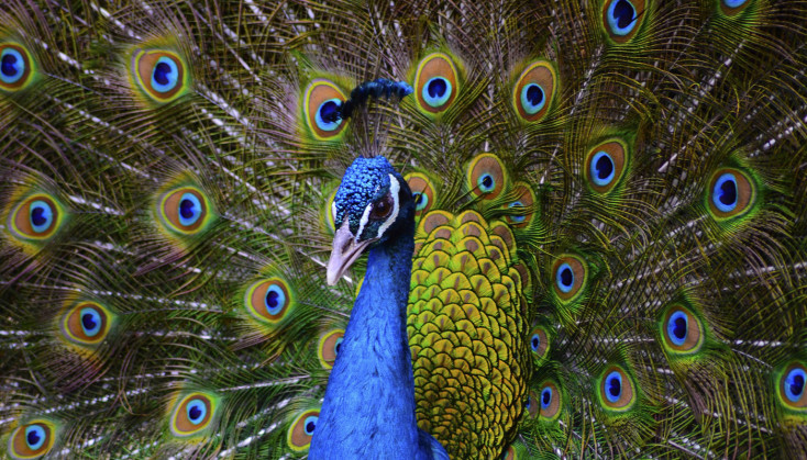 Peacock - getting noticed