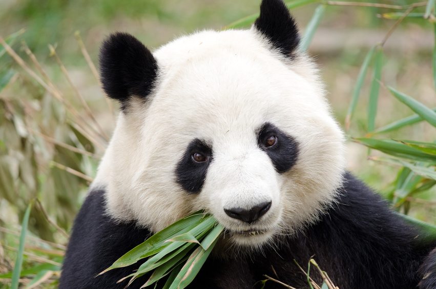 Panda chewing plants